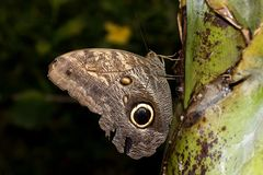 Close up of a banana falter with the typical eye on its closed wings sitting on a plant stock images