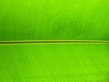 Close up banana leaf. Symmetrycal detail on tropical leaf stock photos