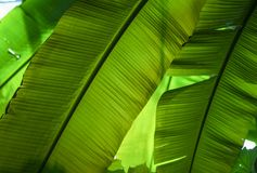 Close up banana leaf royalty free stock photo
