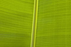 Close Up Of Banana Leaf Stock Photos