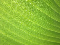 Close up banana leaf background with lines. Banana leaf background with lines Stock Photos