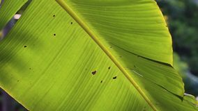 Close up banana leaf in Garden at Phu Quoc Island, Kien Giang province, Vietnam stock video footage