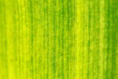 Close up of banana leaf, shallow depth of field, only centre in focus. Abstract tropical natural texture / background stock images