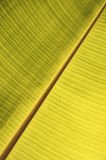 Close Up of Banana Leaf Structure Royalty Free Stock Photo