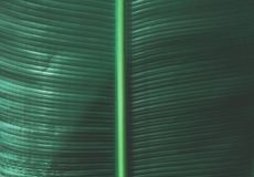 Tropical Banana Leaf Texture royalty free stock photos