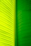 Close-up of a banana palm tree leaf. Close up of a leaf of a banana palm tree of a very bright green color royalty free stock images