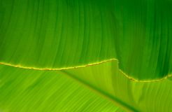 Close-up of a banana palm tree leaf. Close up of a leaf of a banana palm tree of a very bright green color Stock Photo