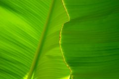 Close-up of a banana palm tree leaf. Close up of a leaf of a banana palm tree of a very bright green color Stock Image