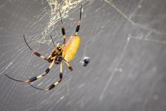 Banana Spider Close Up. A close up of a banana spider in her web stock photo