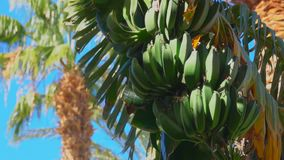 Close-up of banana tree leaf and fruit. Against the background of a bright blue sky stock footage