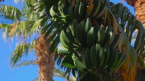Close-up of banana tree leaf and fruit. Against the background of a bright blue sky stock video