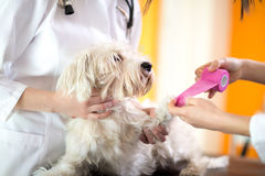Close up of bandaging hurt paw of Maltese dog Royalty Free Stock Photos