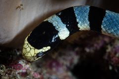 Close Up of Banded Sea Snake. A Banded sea snake, Laticauda colubrina, searches for small fish to prey upon on a reef in Wakatobi National Park, Indonesia. This stock photography