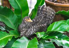 Close up Bantam chicken breed sitting on tropical leaves tree in stock photo