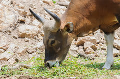 Close up of Banteng (Bos javanicus). Wildlife sanctuary in Thailand Stock Images