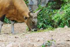 Close up of Banteng (Bos javanicus). Wildlife sanctuary in Thailand Stock Image