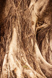 Close-up of a Banyan interlaced roots in garden Royalty Free Stock Photography