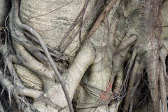 Close-up of banyan tree roots Stock Images