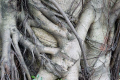 Close-up of banyan tree roots Royalty Free Stock Photos
