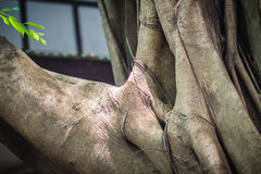 Close up banyan tree trunk and roots at the backyard that look s Stock Image
