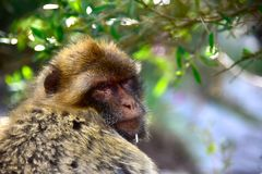 Closeup of a Barbary Macaque stock images
