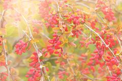 Close up of the barberry. Stock Images