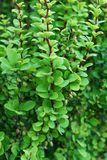 Close-up of the barberry twigs Berberis thunberg a green form in. Close-up of twigs and berries Caucasian barberry Berberis thunberg green form in summer in the stock photo