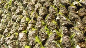 Close up of bark Baikushev`s Pine tree in the Pirin Mountains in Bulgaria. stock photo