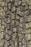 Close up of bark of an oak tree Royalty Free Stock Images