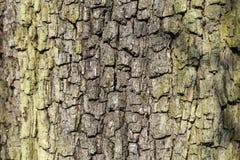 Close up of bark of an oak tree Stock Photos