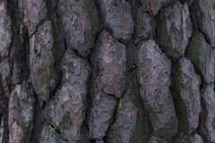 Close up of old pine tree bark. stock image