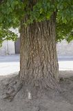 Close up of bark of old tree in town center of Avila Spain, an old Castilian Spanish village Stock Photos