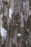 Close up of the bark of a tree covered with moss, lichen and snow in the Austrian alps royalty free stock photography