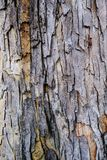 Close up bark of tree trunk called Baywood Tree, Mahogani, beaut. Iful natural texture, Mahogany bark For the background image Stock Photos