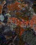Lichen texture dark pattern. Close up of the bark of a tree trunk invaded by lichen and moss Stock Photos