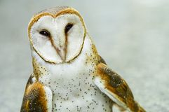Close up of a Barn Owl Stock Image