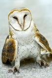 Close up of a Barn Owl Royalty Free Stock Images