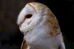 Close up Barn Owl. Close up of a Barn Owl stock photo