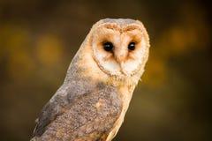 Close up Barn Owl, autumn royalty free stock photo