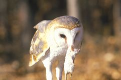 Close-up of Barn Owl holding dead mouse, Land Between Lakes, KY Royalty Free Stock Images