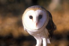 Close-up of Barn Owl, Land Between Lakes, KY Royalty Free Stock Images