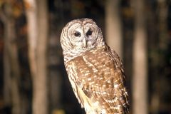 Close-up of Barn Owl, Land Between Lakes, KY Royalty Free Stock Photography