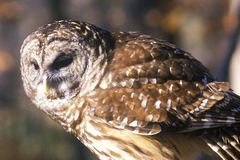Close-up of Barn Owl, Land Between Lakes, KY Royalty Free Stock Image
