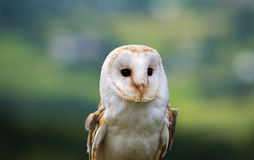 Close up of a barn Owl Stock Photo