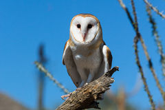 Close-up of a barn owl. Barn owl on perch in close-up Royalty Free Stock Image