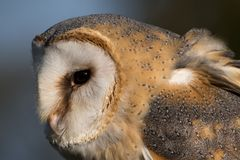 Close up of barn owl in profile showing feathers, beak and eye. royalty free stock photo