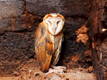 Close up a Barn Owl. Close up sleeping a Barn Owl Stock Photography
