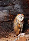 Close up a Barn Owl. Close up sleeping a Barn Owl Royalty Free Stock Photos