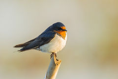 Close up of Barn Swallow Royalty Free Stock Photos