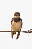 Close up of Barn swallow. (Hirundo rustica) in nature in Thialand Royalty Free Stock Photo